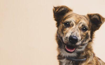Is het coronavirus gevaarlijk voor honden?